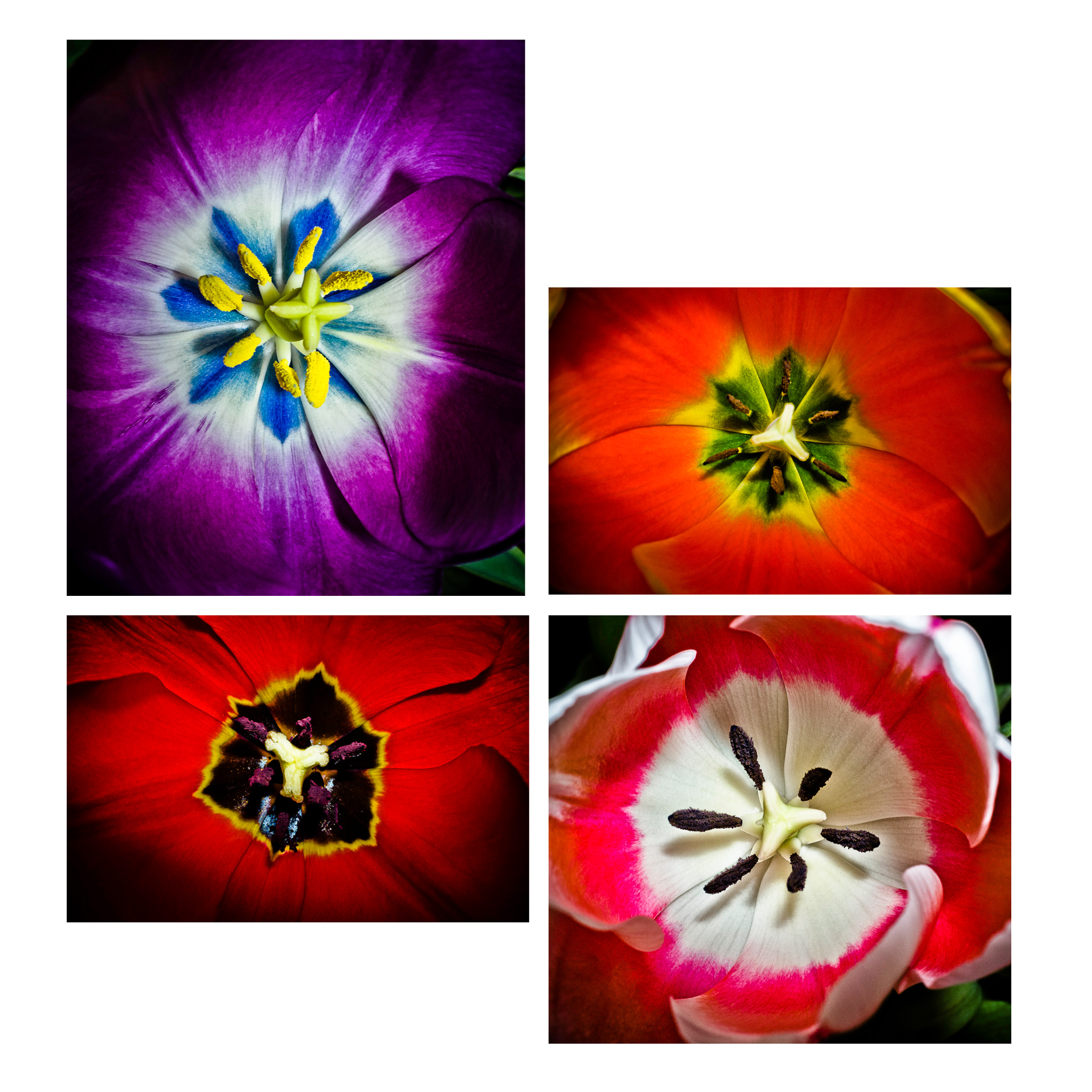 Quattro Tulipani © 2012 Dana Hursey Photography