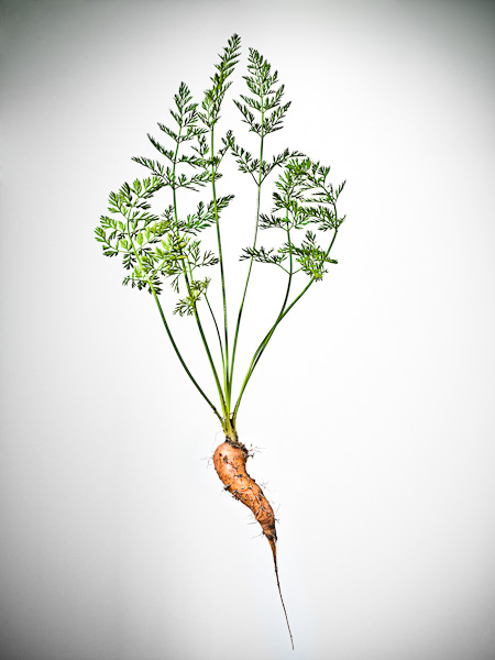 Carrot - © 2012 Dana Hursey Photography