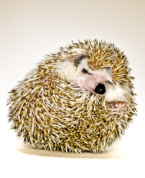 Photo of Finn the Hedgehog