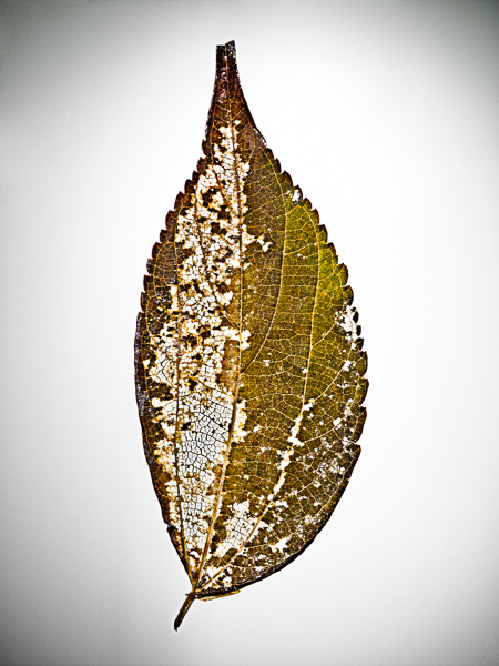 Image of Decaying Leaf - © Dana Hursey Photography
