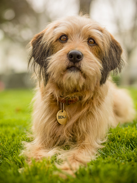 Photograph of Benji the dog on grass.
