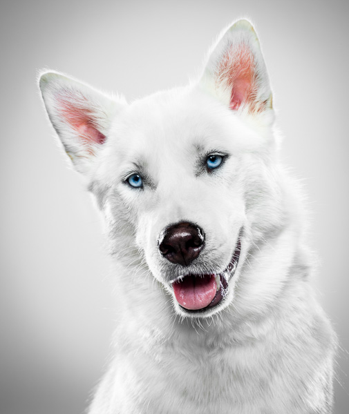 Portrait of a white dog against a white background