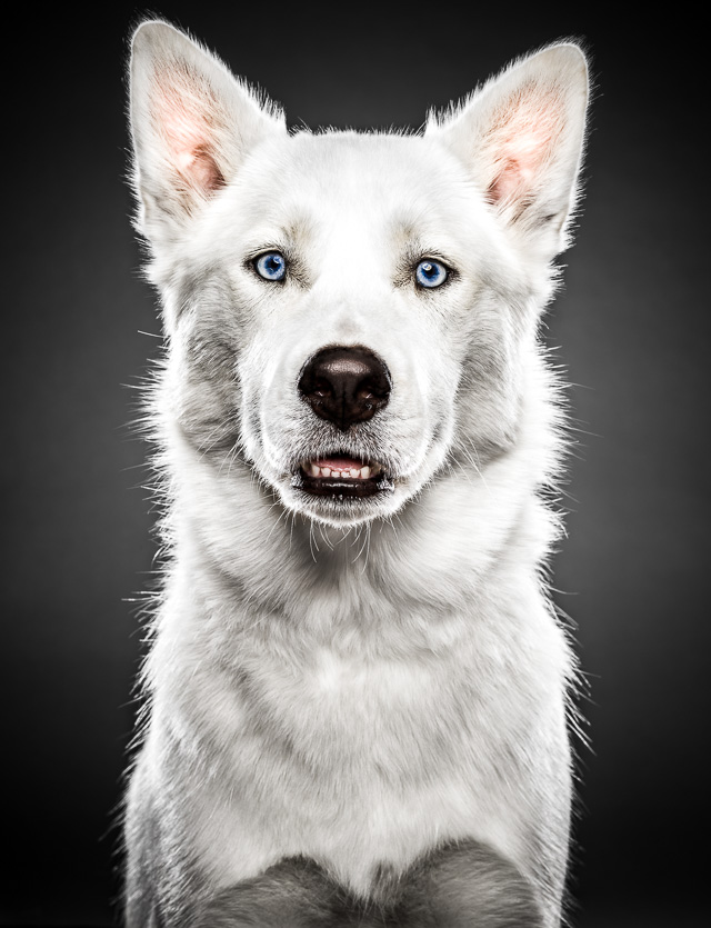 Portrait of a white Siberian Husky / Samoyed mixed dog looking straight into camera